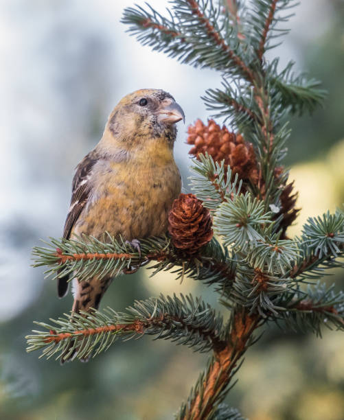 Two-barred crossbill stock photo