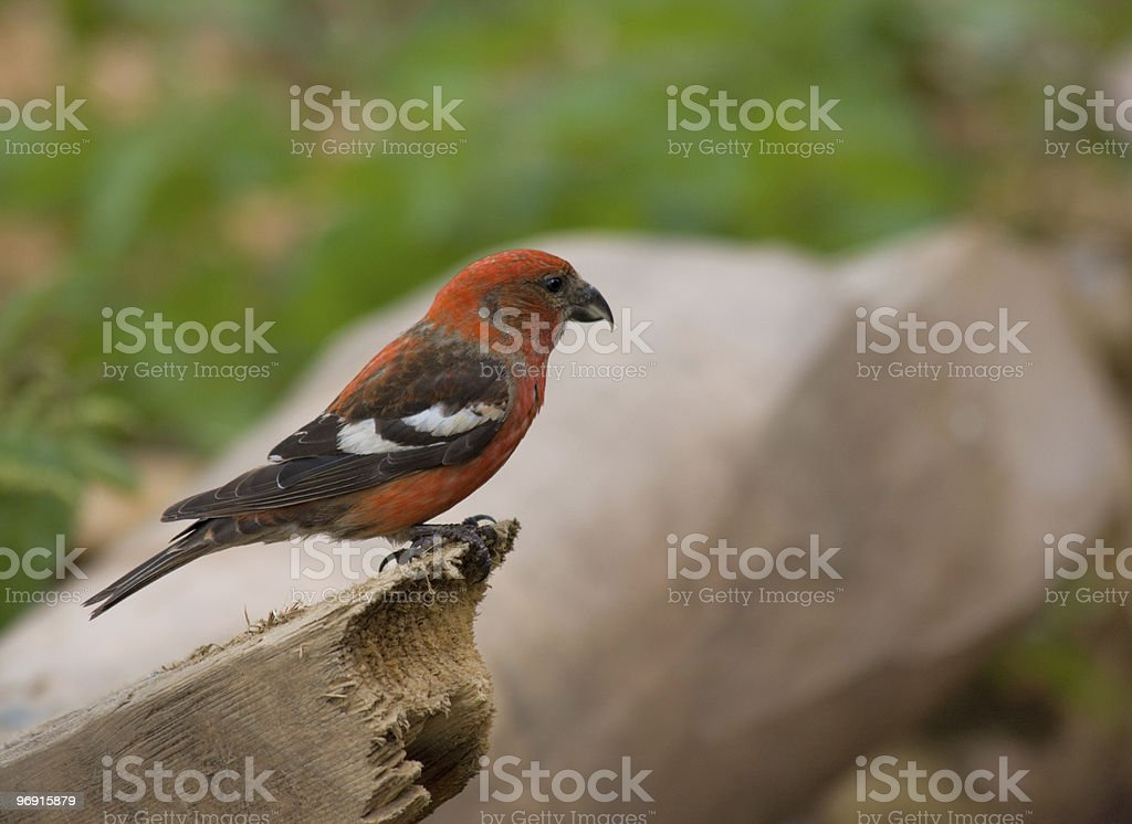 Two-barred or White-winged Crossbill, Loxia leucoptera royalty-free stock photo