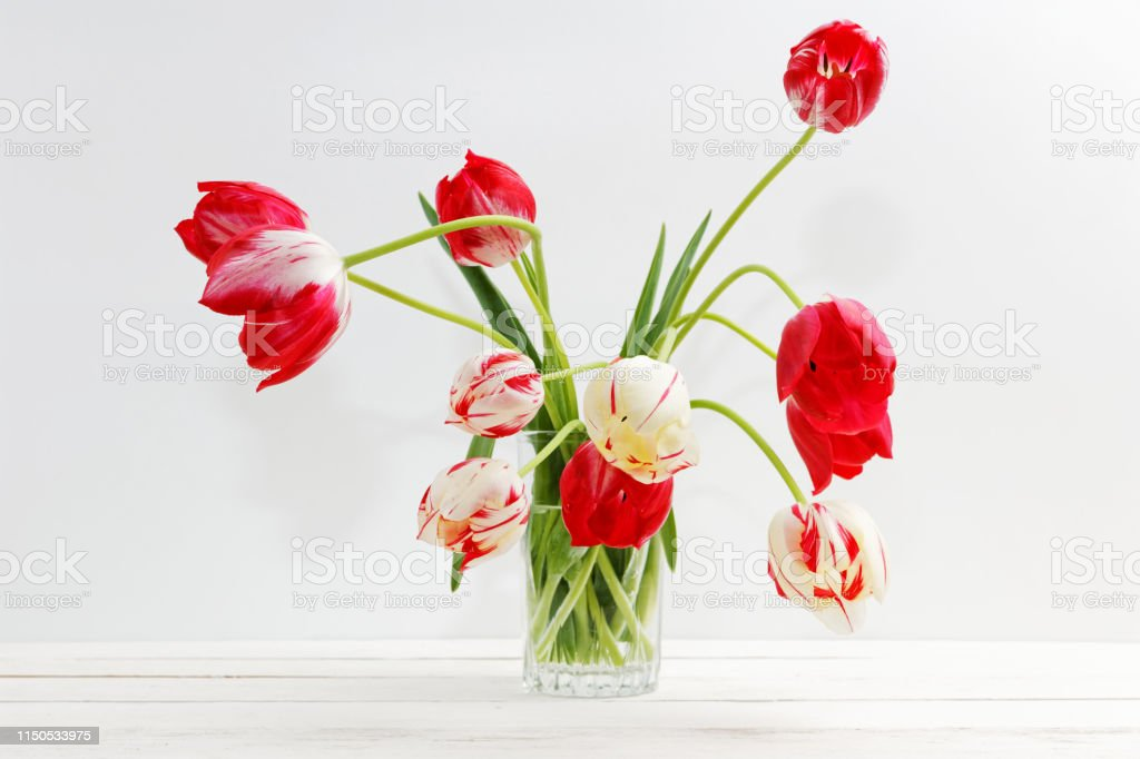 Two-color red and white tulips in a glass vase with water on white...