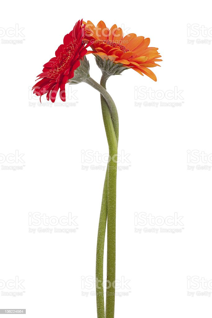 Two-colored gerbera, binding the each other stock photo