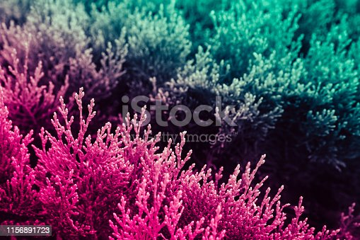 istock Two-colored leaves of a coniferous bush, similar to algae under water. 1156891723