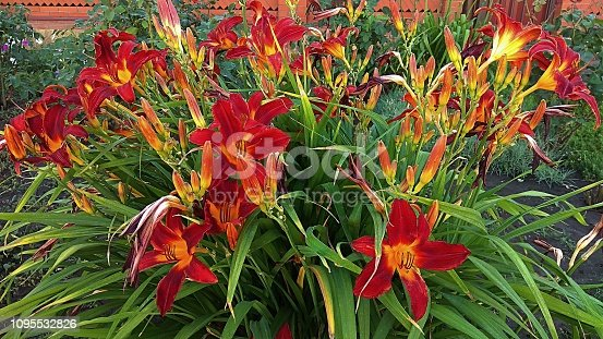 Star-shaped, dark red daylilies with slightly ruffled margins, contrasting yellow throats atop a mound of green leaves, looking like blades of grass. Bicolor red-yellow daylilies growing in a bushy clump.