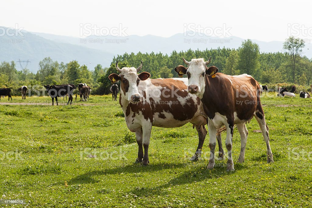 twocows stock photo