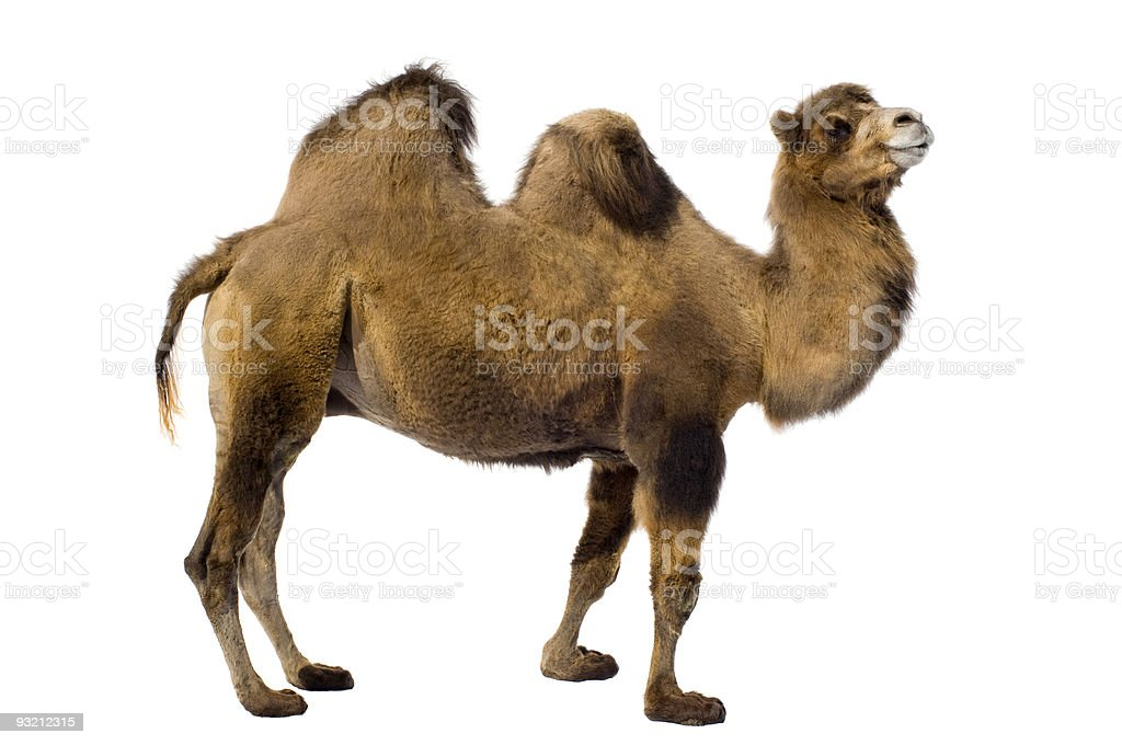 Two-hump camel from side on white background stock photo