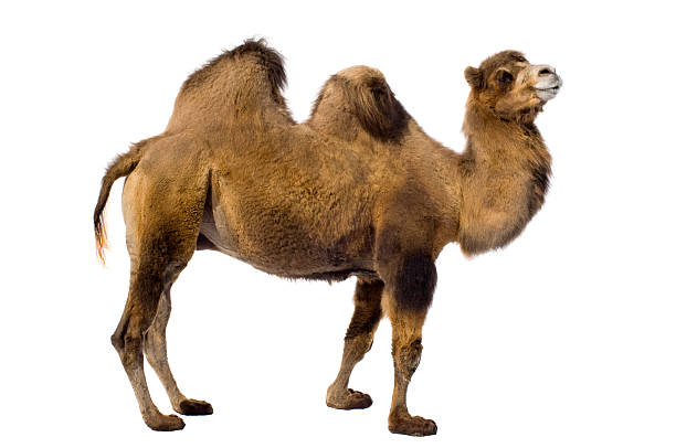 two-hump camel from side on white background - deve stok fotoğraflar ve resimler