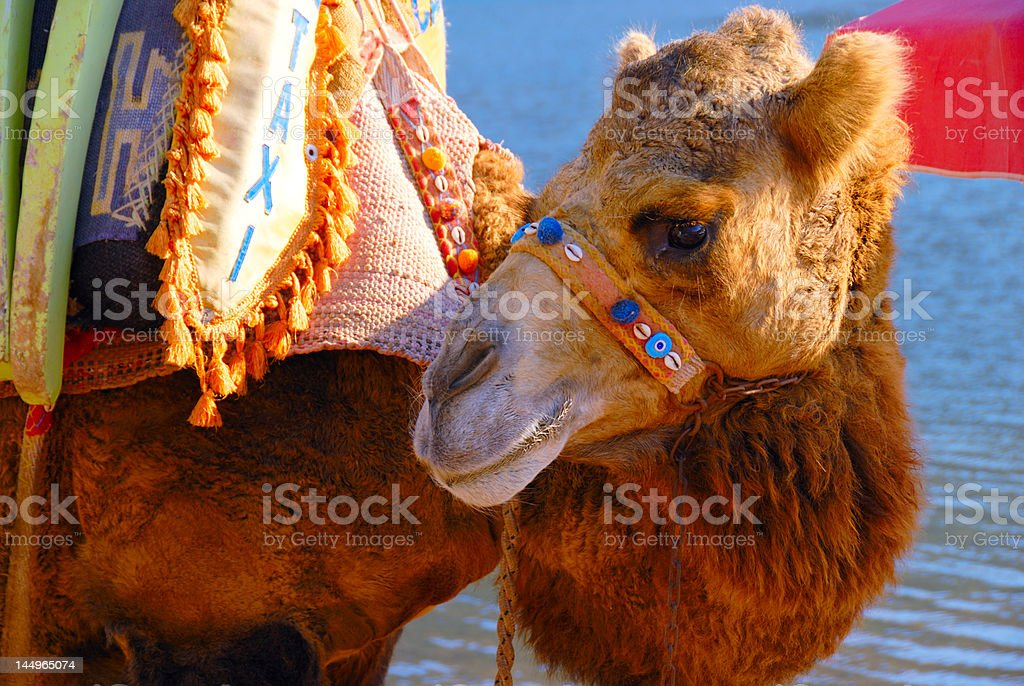 Two-humped camel royalty-free stock photo
