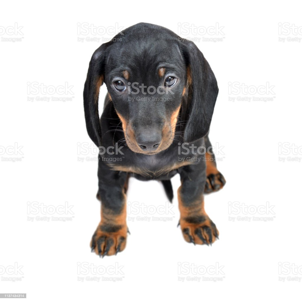 Twomonth Smooth Black And Tan Dachshund Puppies On White Backdown Stock Photo Download Image Now Istock