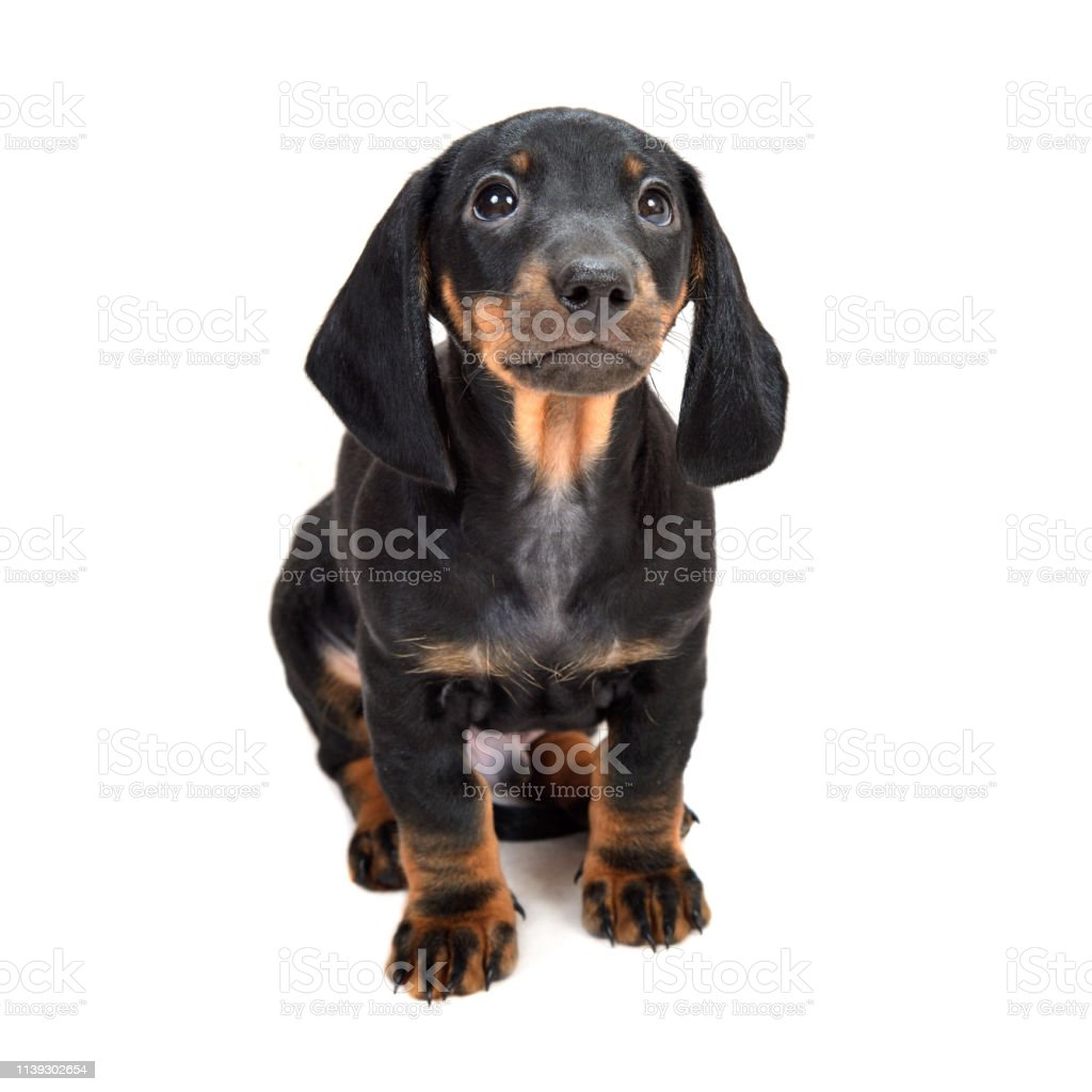 Twomonth Smooth Black And Tan Dachshund Puppies On White Background Stock Photo Download Image Now Istock
