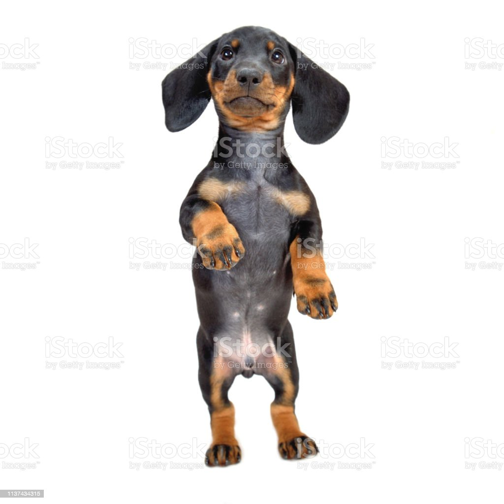 Twomonth Smooth Black And Tan Dachshund Puppies Standing On Its Hind Legs On White Backdown Stock Photo Download Image Now Istock