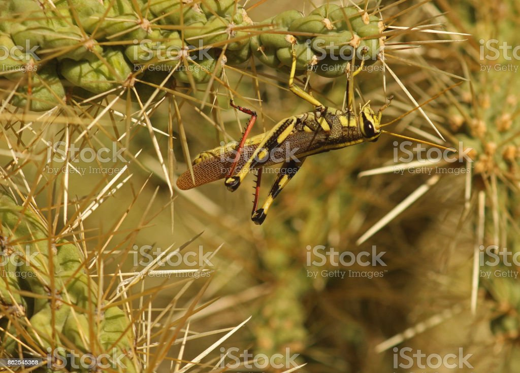 Two-Striped Grasshopper Clinging to Cactus stock photo