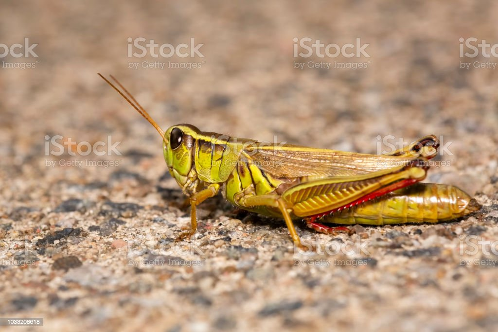 Two-striped grasshopper resting on sand Two-striped grasshopper resting on sand with blurred background and foreground Animal Stock Photo