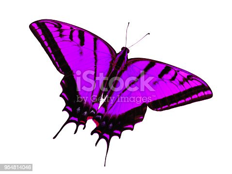 Two-tailed swallowtail butterfly, Papilio multicaudata, isolated on white background. The largest of the US tiger sawllowtails, this one has even three tails on each wing. Color change to violet