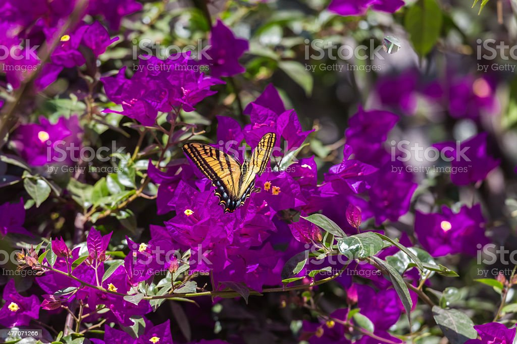 Two-tailed Swallowtail Butterfly stock photo
