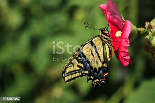 A Two-tailed Swallowtail Butterfly (Papilio multicaudata) alights on a hollyhock in a backyard garden.