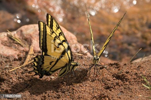 Drinking up wet minerals along a creek, a pair of two-tailed tiger swallowtail butterflies use their long proboscis in Red Rocks Park Morrison, Colorado.