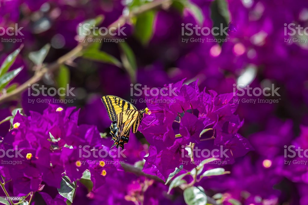 Two-tailed Tiger Swallowtail. stock photo