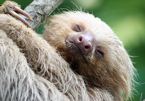 Two-toed Baby Sloth Close-up A close up of the head and upper body of a two-toed baby sloth as photographed in Costa Rica. limoen stock pictures, royalty-free photos & images