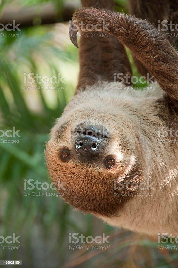 Two-toed sloth, Choloepus didactylus. stock photo