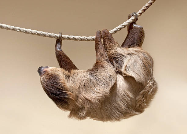 two-toed sloth - sloth stock pictures, royalty-free photos & images