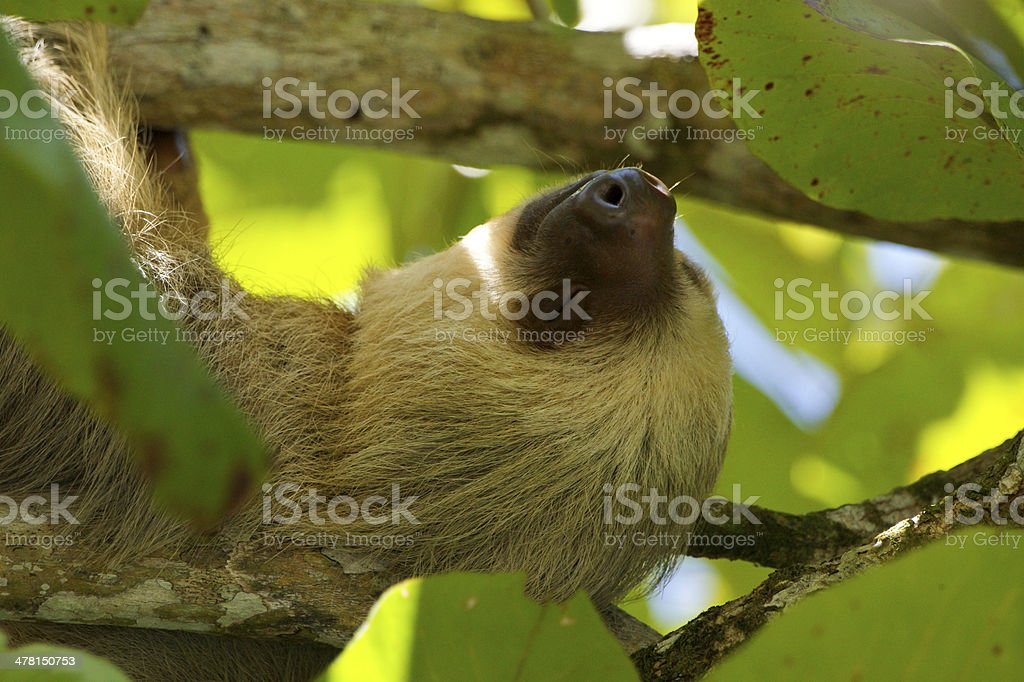 Two-Toed Sloth Relaxing stock photo