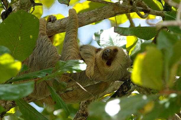Two-Toed Sloth Relaxing with a Grin stock photo