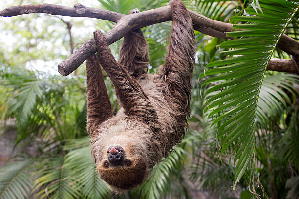 two-toed sloth show tounge - sloth stock pictures, royalty-free photos & images
