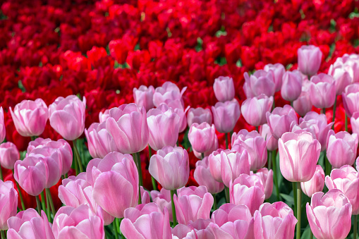 1094016162 istock photo Two-tone floral background of red and pink tulips 1093688182