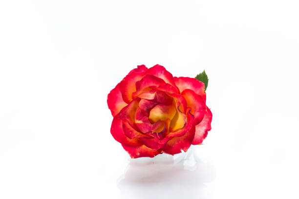 Twotone redyellow rose closeup isolated on a white picture id1170977893?b=1&k=6&m=1170977893&s=612x612&w=0&h=wtv td2mj xr riuhpm0fejuhh9v9szoktvypapr c8=