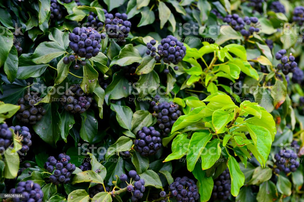 A type of berry were heavy with cluster on the wall in Gapado island. royalty-free stock photo