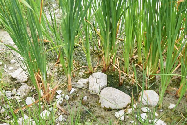 typha latifolia - bioremediation stock photos and pictures