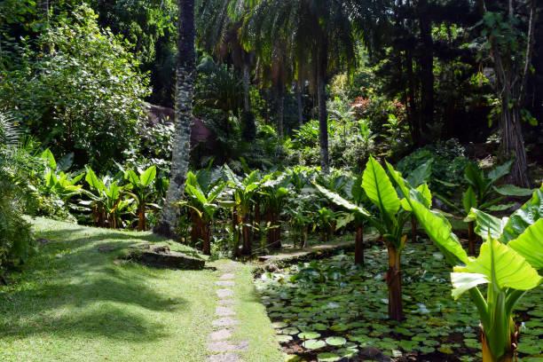 typhonodorum 물에 빅토리아의 국가 식물원 세이셸에서에서 성장 - 마헤 섬 뉴스 사진 이미지