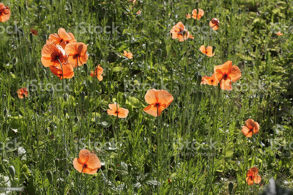 Field of red long-headed poppies Papaver dubium royalty-free stock photo