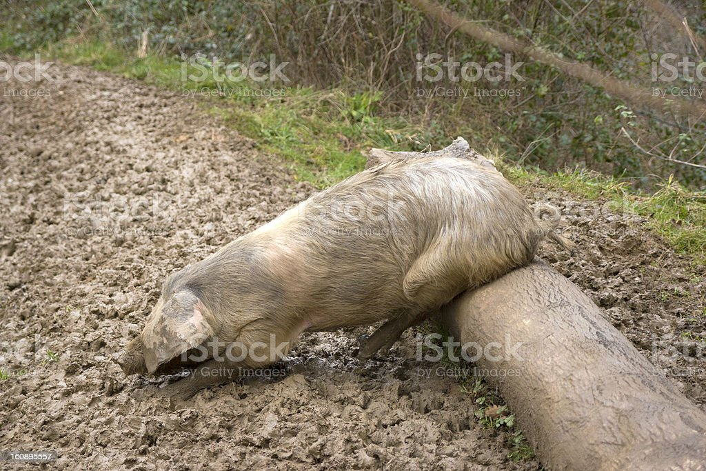 Typical asturian pig royalty-free stock photo