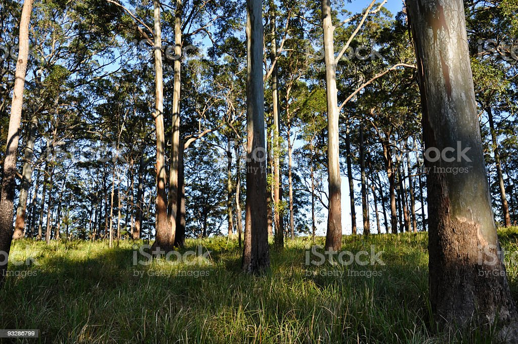Typical Australian Eucalyptus Forest stock photo