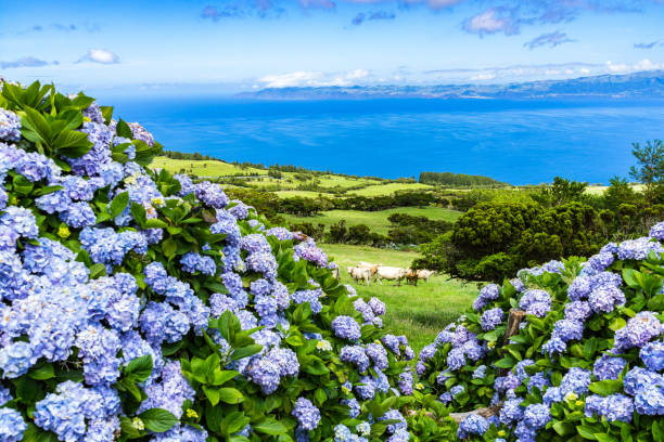 Typical azorean landscape with green hills, cows and hydrangeas, Pico Island, Azores stock photo