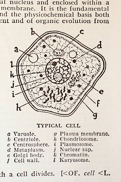 typical cell from old dictionary - medical diagrams stock pictures, royalty-free photos & images