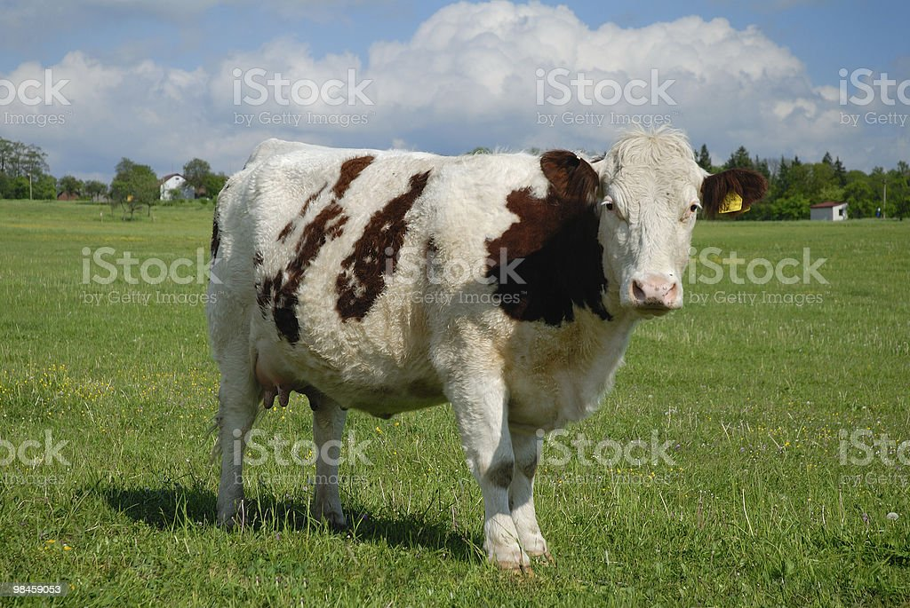 Typical czech pasture with cow royalty-free stock photo