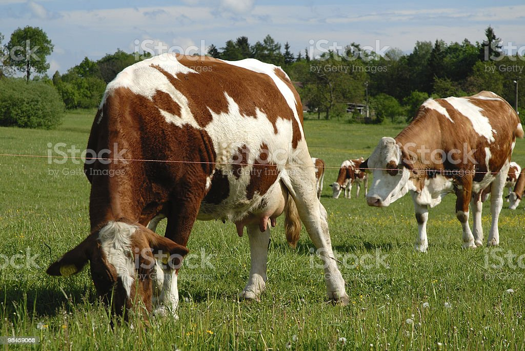 Typical czech pasture with cow  Agricultural Field Stock Photo