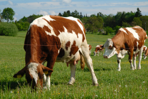 Typical Czech Pasture With Cow Stock Photo - Download Image Now