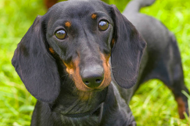 Typical Dachshund Close-up stock photo