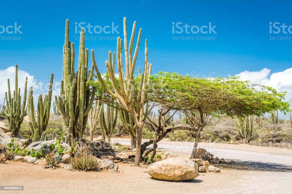 Typical dry climate cacti and shrubs in Aruba. stock photo
