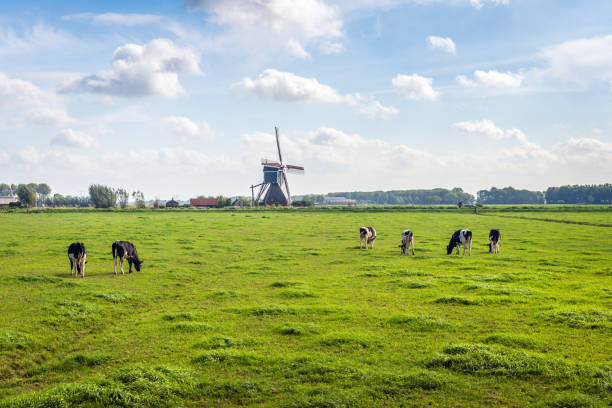 typical dutch polder landscape with a grazing cows in the meadow - netherlands stock pictures, royalty-free photos & images
