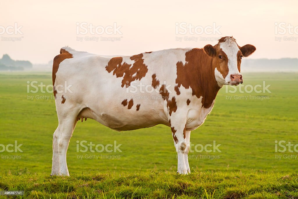 Typical Dutch red and white milk cow stock photo