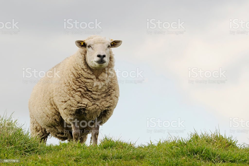 Typical dutch sheep stock photo