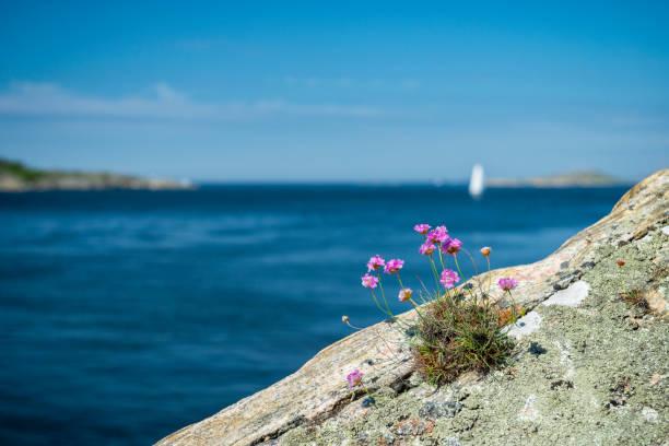 typical flora of swedish west coast - bohuslän nature bildbanksfoton och bilder