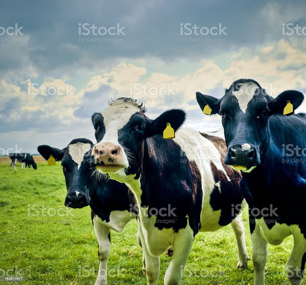 Typical Holland Cows In The Field, Netherlands royalty-free stock photo