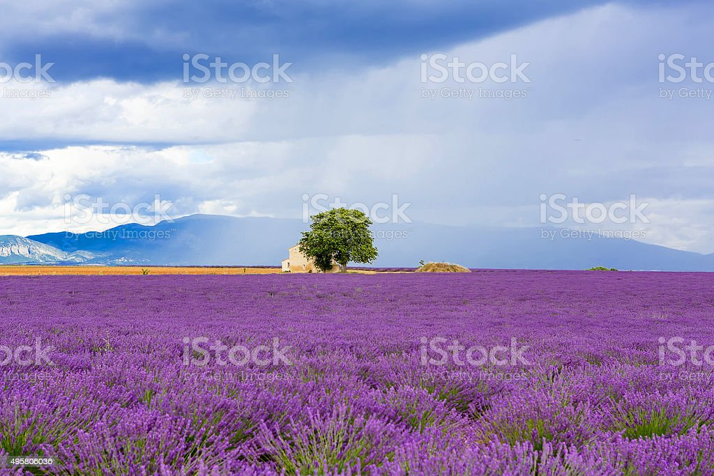 Typical landscape of lavender fields Provence, France stock photo