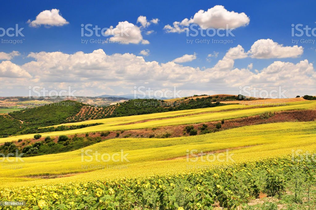 Typical landscape with sunflowers near Arcos de la Frontera, Spain. stock photo