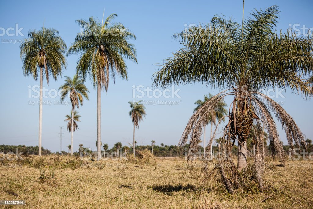 Typical Palm Trees of Mato Grosso do Sul - Pantanal State - Brazil stock photo
