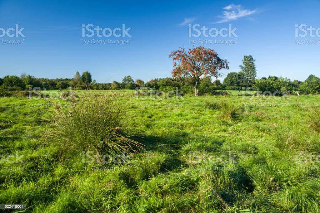 Typical pasture in East Frisia with grass and rowan tree stock photo